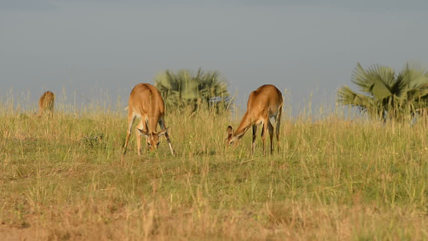 Day 3: An early morning Game Drive – Kampala Return Trip