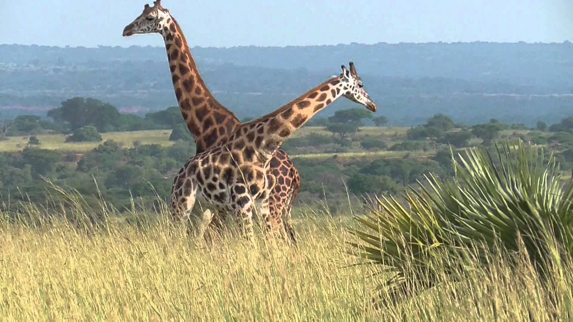 Day 2: An Early Morning Game Drive, Launch Cruise and Hiking to the top of the Murchison Falls