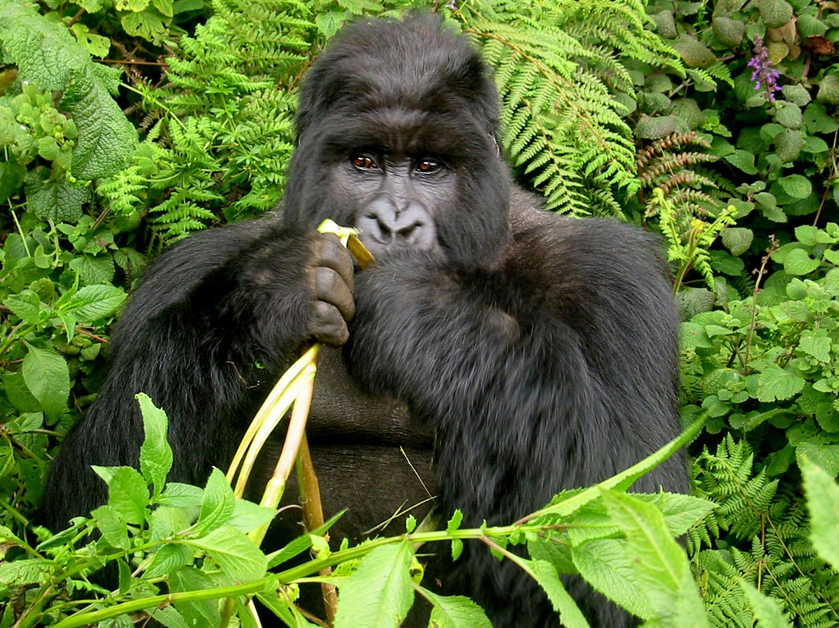 Gorilla tracking Bwindi Impenetrable Forest